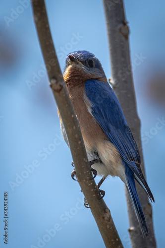Fotografie, Tablou Male Eastern Bluebird Perching and Enjoying the Springtime Sunshine