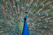 Close-up Of Peacock Fanned Out Feathers