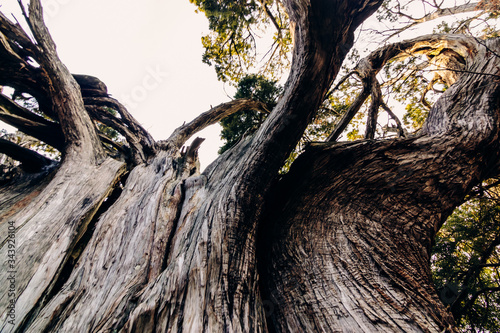 Fotografie, Tablou A powerful, dry, twisted, deformed crown of a huge juniper tree spreads above the coniferous forest