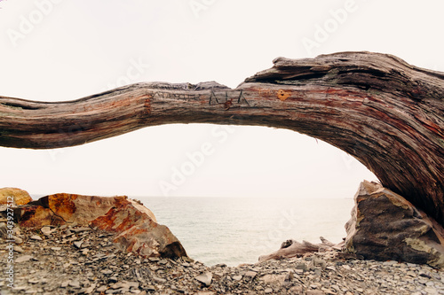 Fotografia, Obraz A trunk of a juniper tree deformed by gusts of wind with a split from an ax and people scratched by bark on a cliff of a rock in a nature reserve against the background of the sea