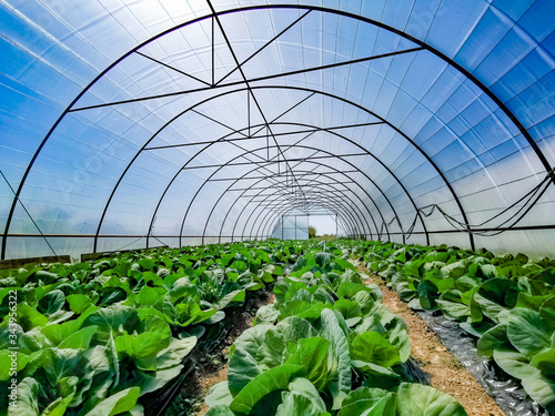Organic cabbage growing in micro farm greenhouse Poster Mural XXL