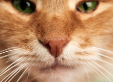 Nose And Mouth Of An Adult Ginger Cat With White Mustache And Green Eyes