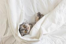 A Gray Scottish Fold Cat Lies ...