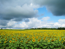 Sunflower Field And Blue Skies Upstate New York