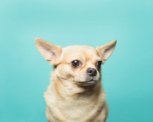Close Of Up Of Tan Chihuahua Head Against Aqua Blue Backdrop