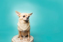 Tan Chihuahua Sitting On Stool...