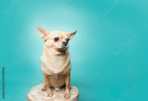 Obraz na plátně Tan chihuahua sitting on stool on aqua background, clean modern
