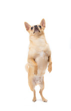 Tan Male Chihuahua Standing On...