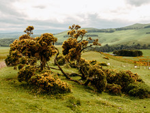 Common Gorse Shrub In Scottish Countryside