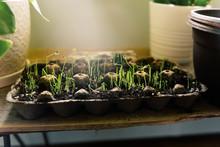 Close Up Of Leek Seedlings Gro...
