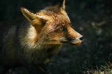 Close Up Of Red Fox In Cazorla Mountain Range