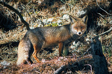 Photograph Of Wild Fox In The Cazorla Mountain Range, With Winter Fur