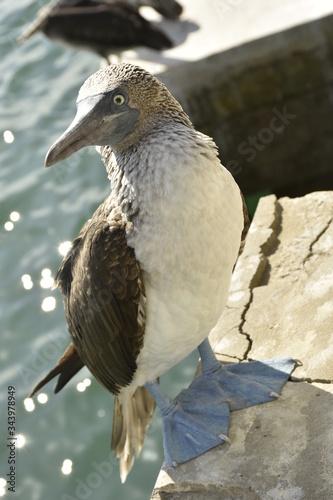 blue-footed albatross Slika na platnu