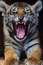 Close-up Of Tiger Yawning