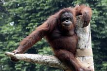 Portrait Of Orangutan Resting ...