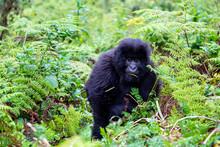 Adolescent Gorilla Trekking Rw...
