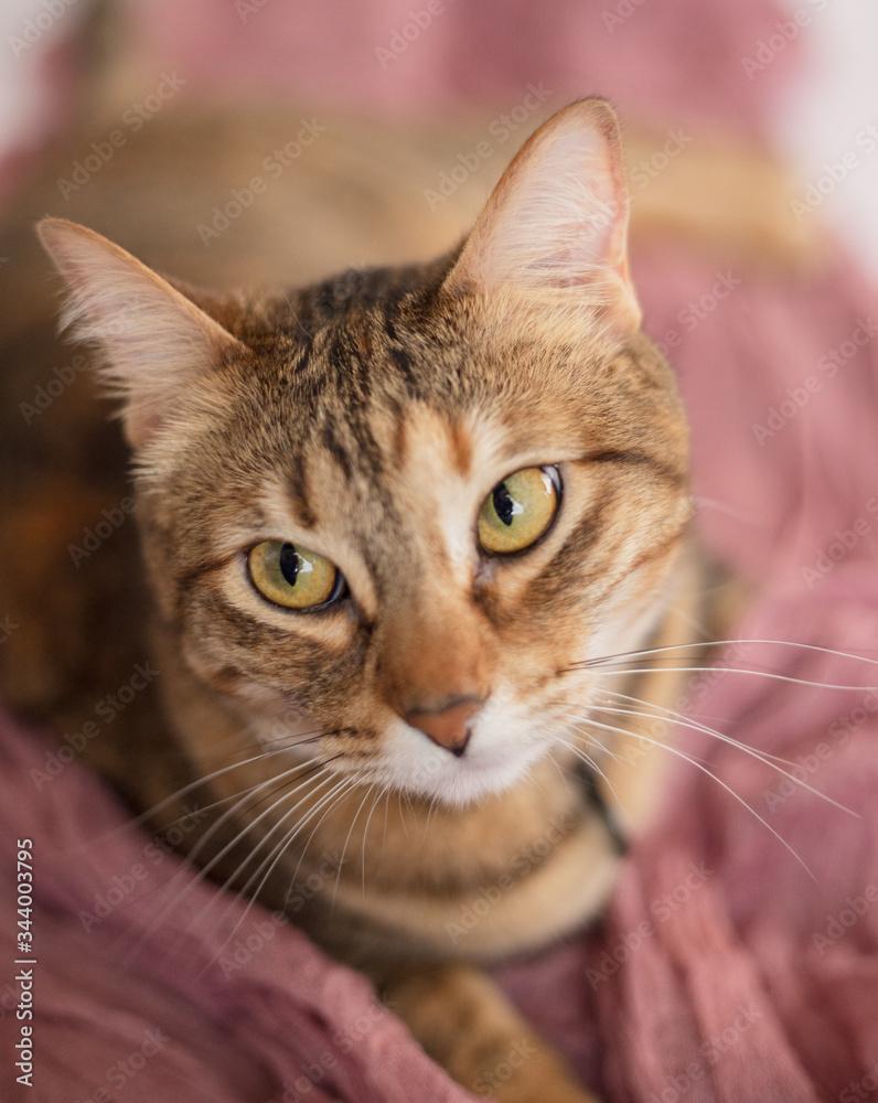 Fototapeta gato, gata, femenino, rosa, delicado, orejas, ojos, uñas, maullido, casa, atigrado, pelo, asma, alergia, nariz, nariz húmeda, felino, doméstico, aislado, cuco, cabeza, animal, mascota, gris, neutro, f