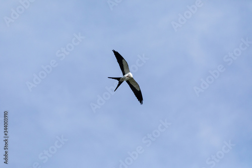 Flying swallow-tailed kite Elanoides forficatus with a Cuban knight anole Canvas Print