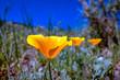 California poppies in a desert landscape in Genoa, Nevada.