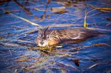 Muskrat In Marsh
