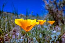 California Poppies In A Desert...