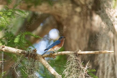 Fotografie, Tablou Male eastern bluebird Sialia sialis perches on a branch high in a tree