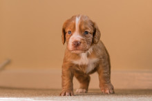 Close-up Of Brown Puppy