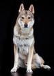 Czech wolfdog, dog, studio photography on a black background