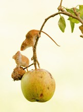 Close-up Of Mice Hanging On Apple Tree Against Sky