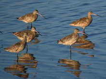A Group Of Marbled Godwits (Li...