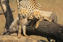 Two Cheetah Cubs Look Right Fr...