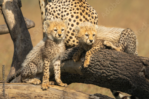 Two cheetah cubs look right from branches Canvas Print