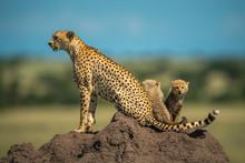 Two Cubs Sitting Behind Cheeta...
