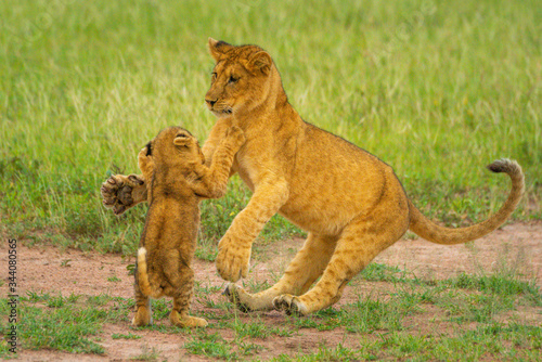 Two lion cubs fighting on hind legs Wallpaper Mural