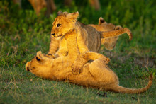 Two Lion Cubs On Grass Play Fighting