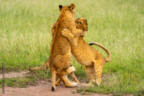 Photo Two lion cubs on hind legs fighting