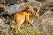 Two Lion Cubs Stand Among Sunny Rocks