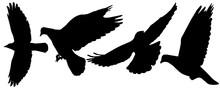 Flying Birds (pigeon, Crows) S...