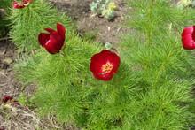 Deep Red Flowers Of Paeonia Tenuifolia In May