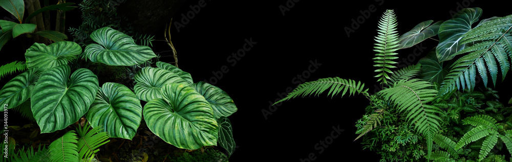 Fototapeta Tropical rainforest foliage plants bushes (ferns, palm, philodendrons and tropic plants leaves) in tropical garden on black background, green variegated leaves pattern nature frame forest background.