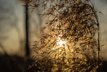 Dry Cattail In The Sunset