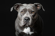 Stafford-Terrier