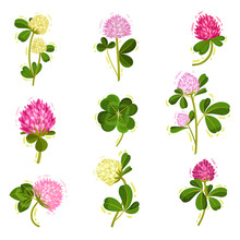 Clover Or Trifolium Flowering ...