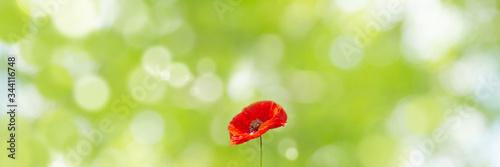 Photographie 赤いポピー(ケシ)の花と緑の新緑の背景(春、初夏、成長、希望、明るい未来のイメージ)