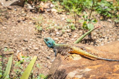 Southern rock agama (Agama atra) lizard lying in the sun on a rock, South Africa Wallpaper Mural