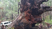 Close-up Of Fallen Kauri Tree In Forest