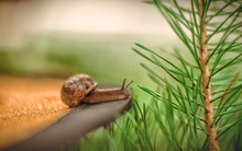 A Brown Garden Snail Crawls Up...