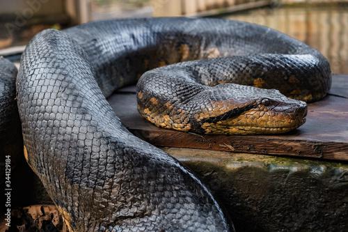 close up of an anaconda snake II Wallpaper Mural