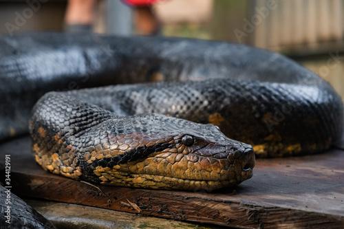 Photo close up of an anaconda snake