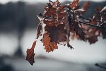 Autumn Crisp Leaves